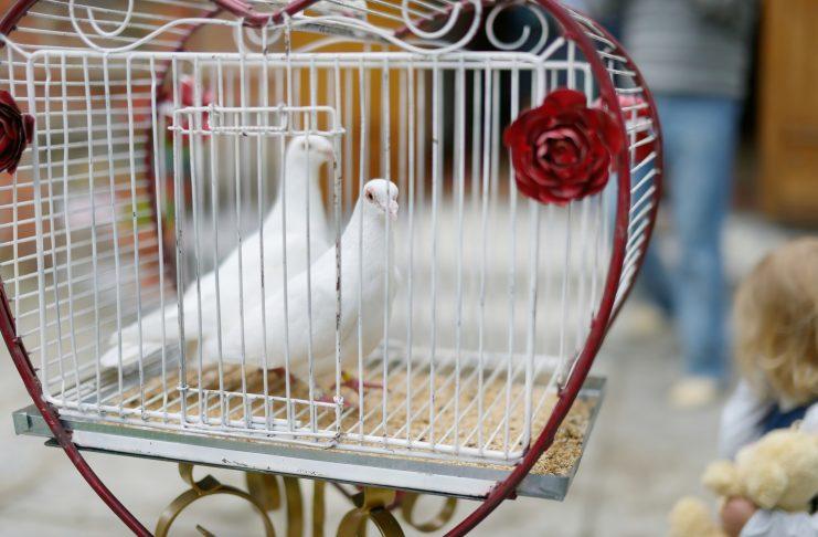 witte duiven trouwen